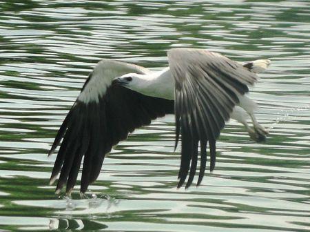 Malaysian sea eagle