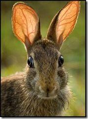 rabbit-ears-7284
