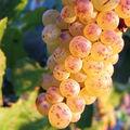 Les principaux cépages vinifiés en blanc