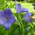 Campanule à grandes fleurs