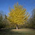 Un petit clin d'oeil à daniel v. : premier essai sur un ginkgo biloba en automne