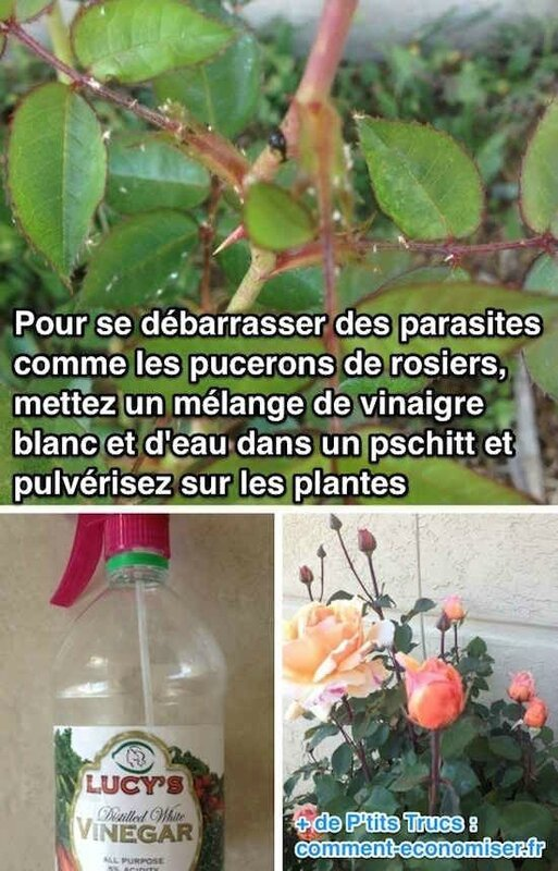 insectecide-naturel-parasite-jardin-vinaigre(2)