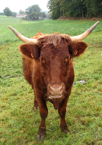 Salers vache 0