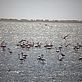 flamingos walwis bay