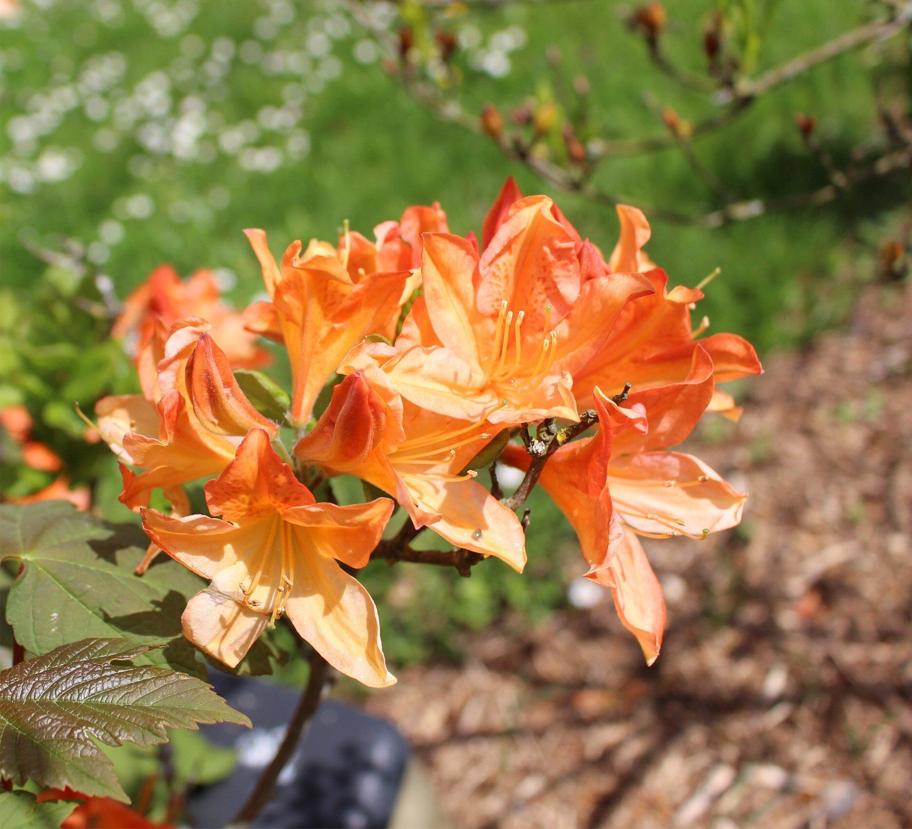MAGNOLIA orange1