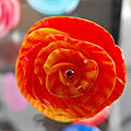 Rose oange rouge