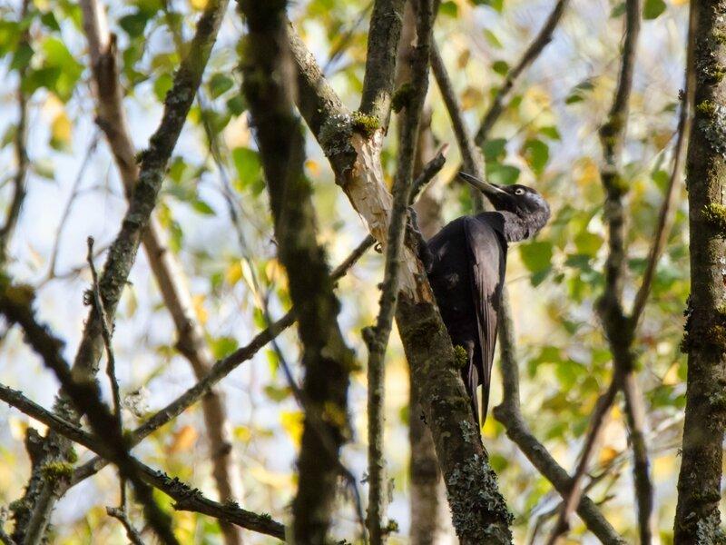 Pic noir - Dryocopus martius (6)