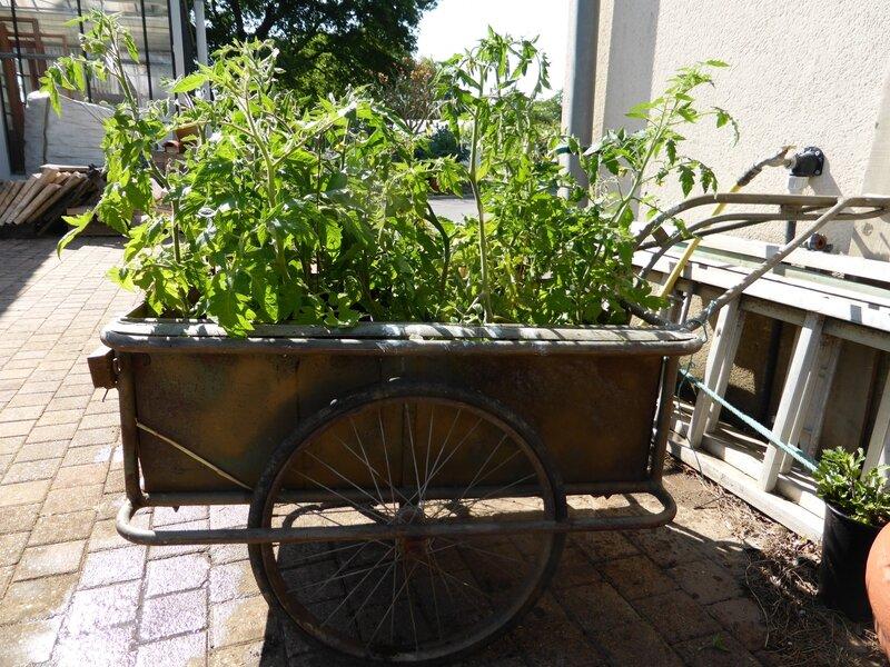 17-tomates à planter (4)