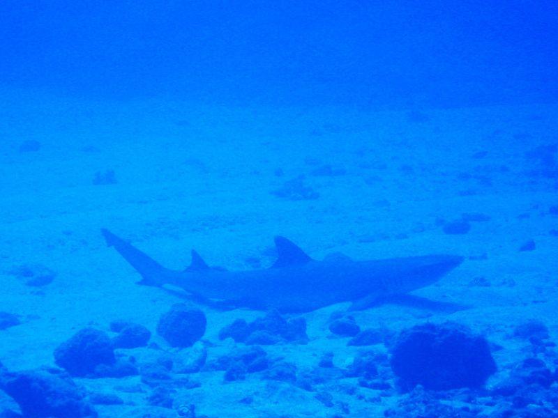 pointe blanche requin de récif