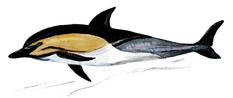 dauphin commun 2