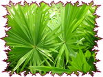 palmier Livistonia
