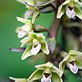 Epipactis violacé - Epipactis purpurata (2)