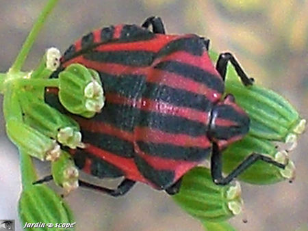 Graphosoma_lineatum_2