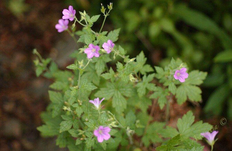 semis spontané rose mini2