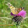 Papillon orange (1)
