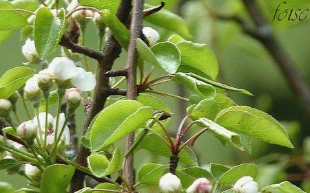 feuilles longuement pétiolées