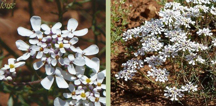 fleurs blanches en corymbe dense pétale irréguliers