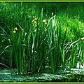Iris jaunes 2804155
