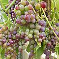 4-vignes, raisins (9)