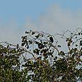 Ramphastos vitellinus - Toucan ariel (renommé