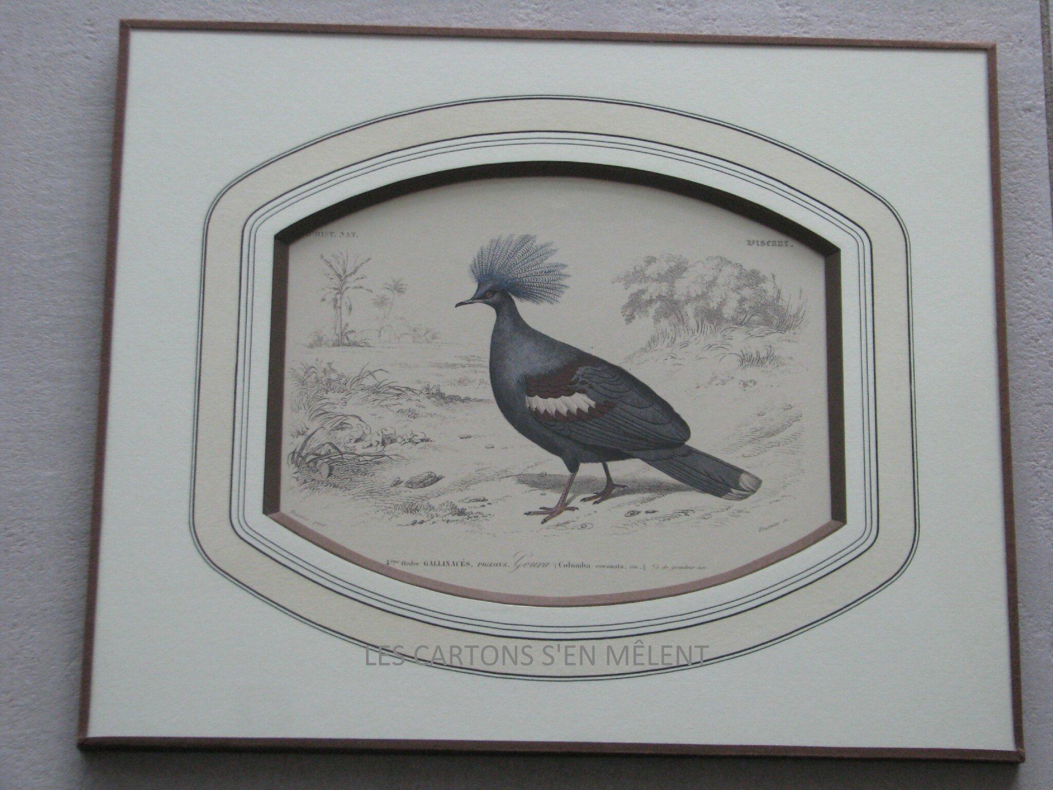 2015-04-07 pigeon goura