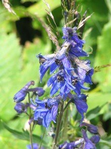Aconite_au_lac_d_Allos