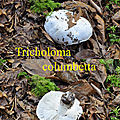 Tricholoma columbetta