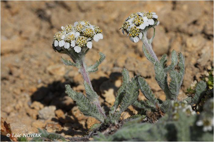 Fleurs Des Sommets Achillee Naine L Alpe Buissonniere
