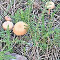 Laccaria laccata (1)