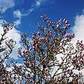 Magnolia et Mimosa 170218