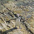 Le manchot derrière le pingouin