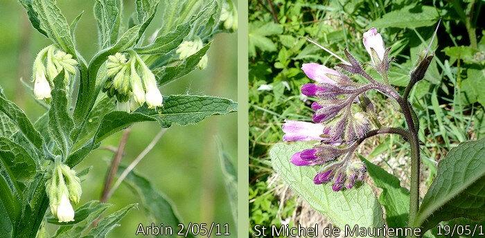 fleurs blanchâtres ou violet-rosé en grappes terminales ou axillaires