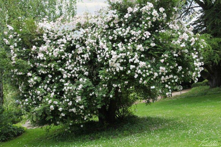 Rosier arbre_13 12 06_4448