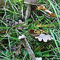Leccinum carpini