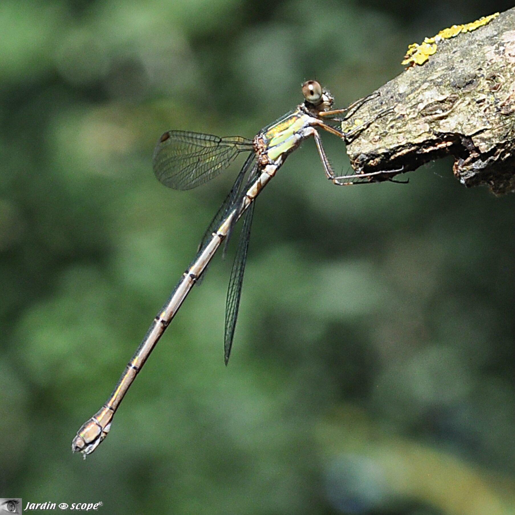 Leste dryade • Lestes dryas • Famille des Lestidae