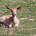 antilope beauval3