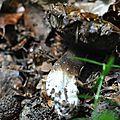 Porphyrellus porphyrosporus (5)
