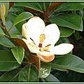 Magnolia 270715