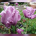 balanicole_2016_05_avril tulipes_51_blue parrot