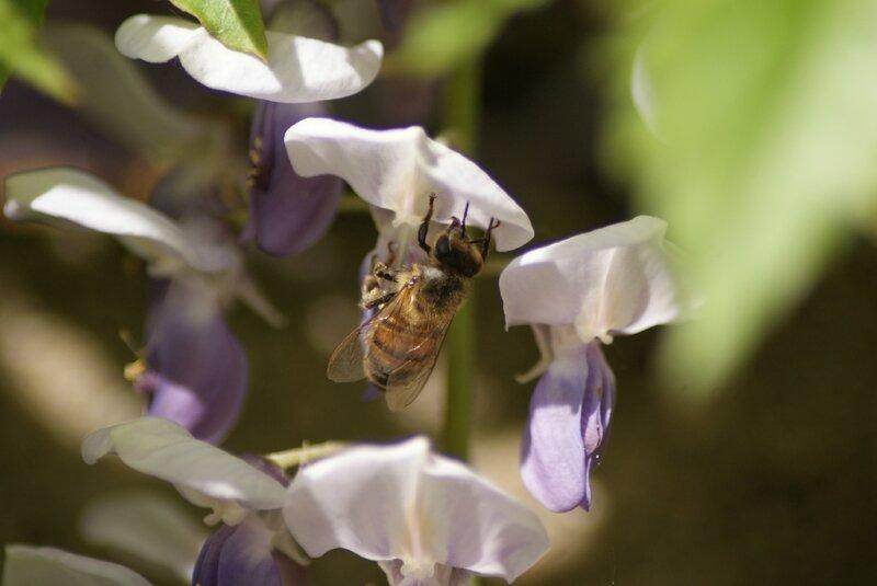 abeille 20
