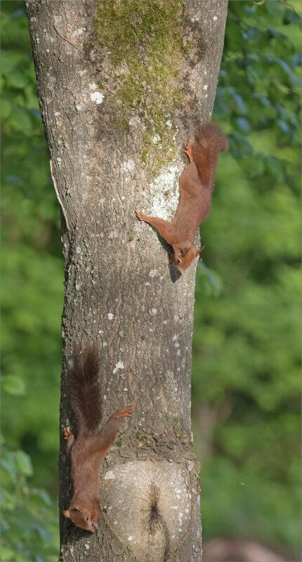 écureuils arbre matin 260418 5