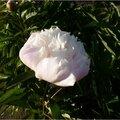 5/ fleurs de mon jardin - pivoine - rhododendron - passiflore - rose blanche - pivoine - rhododendron