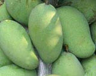 mangue-verte-0
