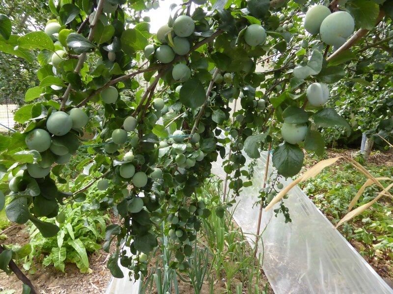 21-prunes, pruniers (5)