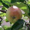 Pomme rougissante