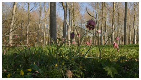 fritillaires_Ruffigny_3bis_200309