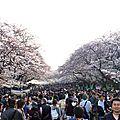... observer les cerisiers en fleurs (10ème partie) !