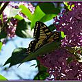 Lilas et Machaon 2204154