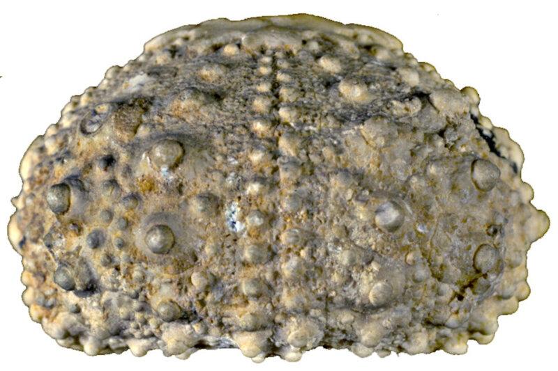 Goniopygus menardi B16427a
