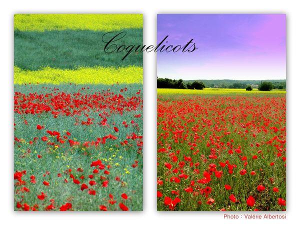 coquelicots champs ponceau ROUGE juin photo fleurs rouges Valérie Albertosi